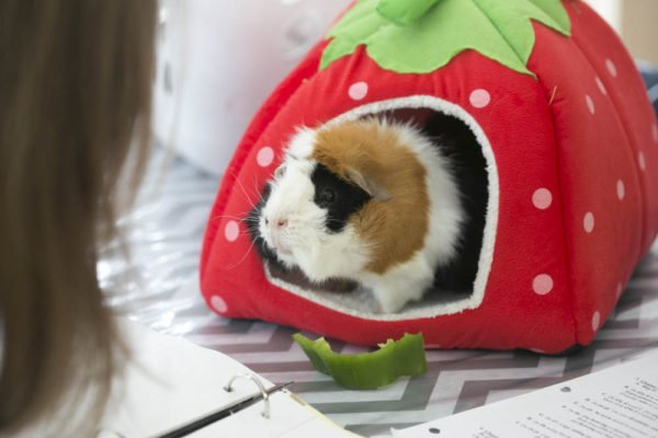 Spartacus the guinea pig and homeschooling.