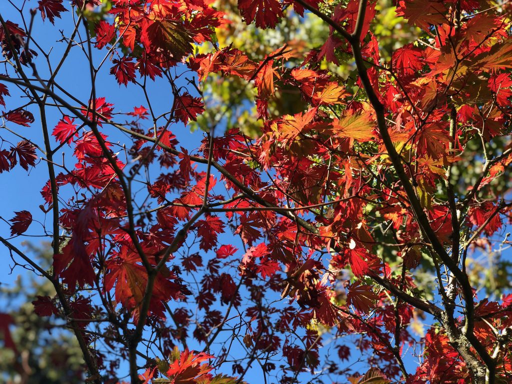 Beautiful fall leaves in the Pacific Northwest
