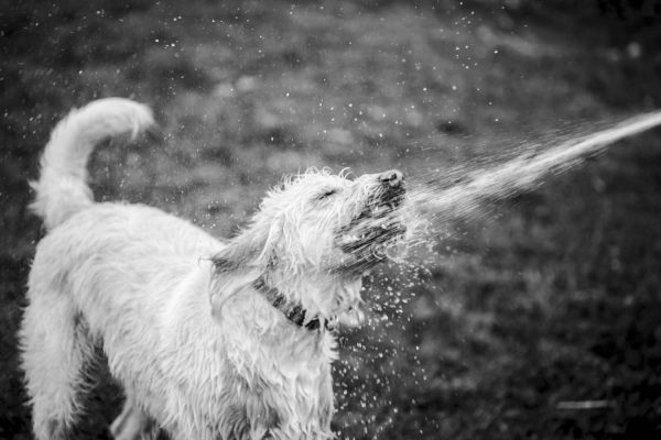 labradoodle being sprayed in the face with water
