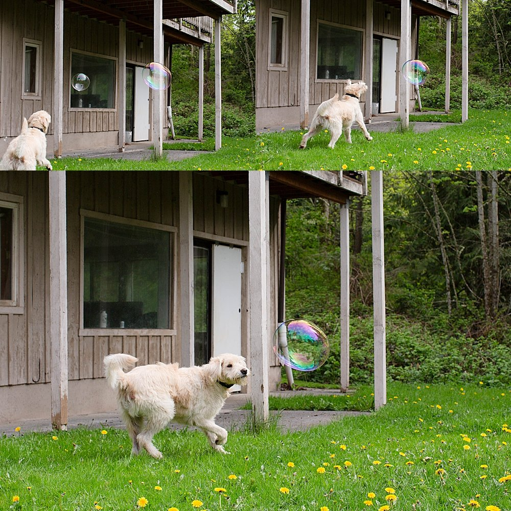 Frodo the labradoodle loves trying to catch bubbles.