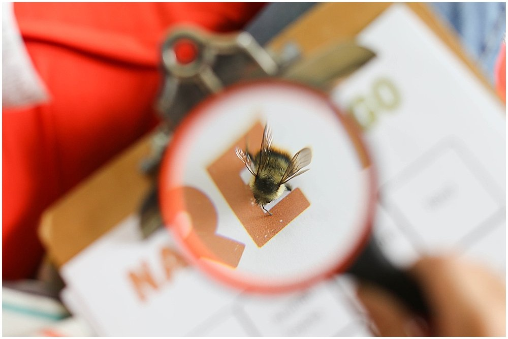 close-up of bumblebee enlarged through magnifying glass.